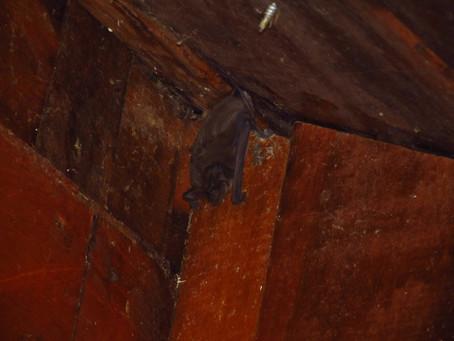 Bat diversity in Santa Lucía.