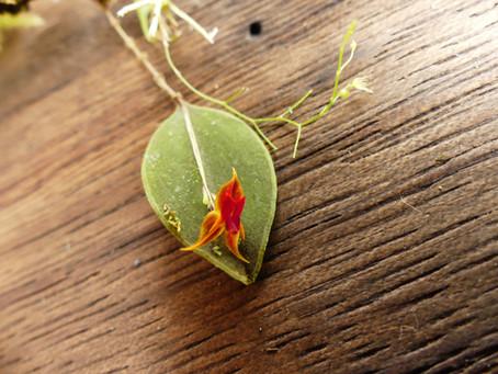 Orchid diversity Santa Lucía.