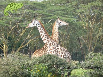 Giraffes at Lake Naivasha, Amboseli and Maasai Mara Safari, OTA - Overland Travel Adventures