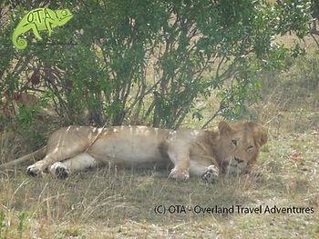 Simba chills out in the shade, Masai Mara, Kenya to Kigali Adventure, OTA
