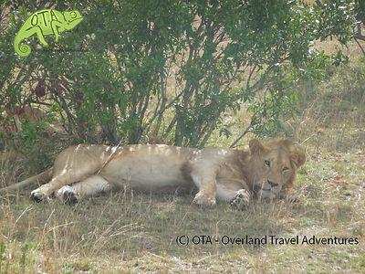 Lion in Maasai Mara, Amboseli and Maasai Mara safari, OTA - Overland Travel Adventures