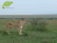 Lion in Maasai Mara, Best of Kenya Safari, OTA - Overland Travel Adventures