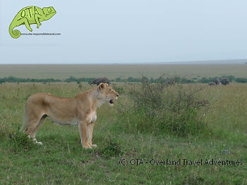 Lioness looks for dinner while elephants graze nearby, Masai Mara, Kenya to Kigali Adventure, OTA