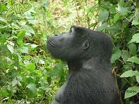 Gorilla trekking in Bwindi Impenetrable Forest, Uganda, safaris