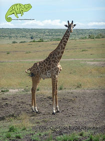 Giraffe, Maasai Mara, Kenya Safari, OTA www.ota-responsibletravel.com