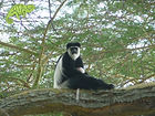 Colobus Monkey and Elsamere, Lake Naivasha, Safari Special, OTA - Overland Travel Adventures