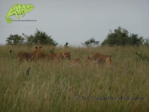 Lions in the Masai Mara, OTA - Overland Travel Adventures