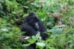 Gorilla in Bwindi Impenetrable Forest, Kenya to Kigali Adventure, OTA - Overland Travel Adventures