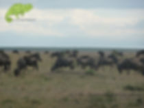 Wildebeest populate the Maasai Mara during the dry season, Kenya Safari, OTA www.ota-responsibletravel.com