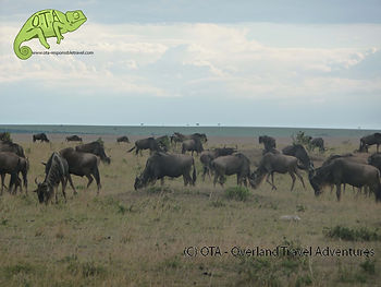 Wildebeest populate the Maasai Mara during the dry season, Kenya Safari, OTA www.ota-responsibletravel.com