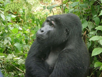 Tracking the mountain gorillas in Bwindi Impenetrable Forest, Uganda, Kenya to Kigali Adventure, OTA