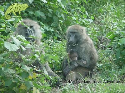 Baboons in Lake Nakuru, Best of Kenya Safari, OTA - Overland Travel Adventures