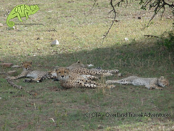 Mum with her cheetah cubs, Maasai Mara, Kenya Safari, OTA www.ota-responsibletravel.com