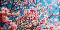 printemps-cerisier1.jpg