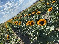 sun flowers .jpg