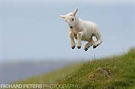 sheep gravity.jpg