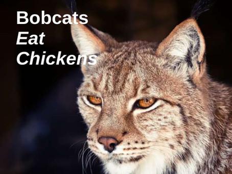 Bobcats Eat Chickens