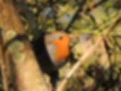 A cheery robin redbreast