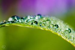 Week # 25- Morning Dew