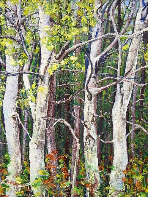 """Autumn Birches, Lake Cameron, 24"""" x 30"""""""