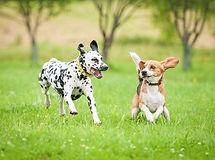 Beagle-spielt-mit-Dalmatiner-Rita-Kochma