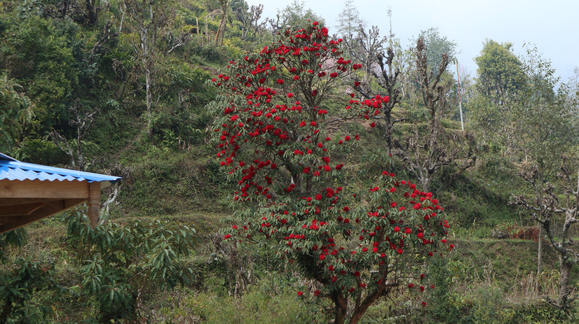 Sikteltar's climate isn't the best for wild rhododendrons, but a few trees have come up in the area, and the women adore it.