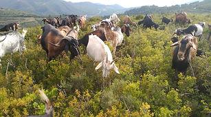 La Cabra Payoya tira al monte catalan.jp