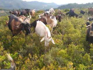 La Cabra Payoya tira al monte catalán