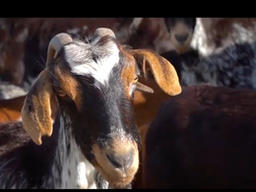 La Cabra Payoya y sus quesos en la campaña de la Diputación de Cádiz #Cádiztetoca