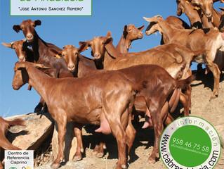VI Escuela de Jueces de caprino lechero de Andalucía