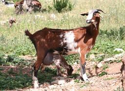aprobación del programa de cría de la raza caprina PAYOYA
