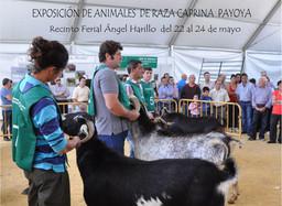 Cabras de Raza Payoya en la Real Feria de Mayo de Ronda. Del 22 al 24 de mayo del 2015