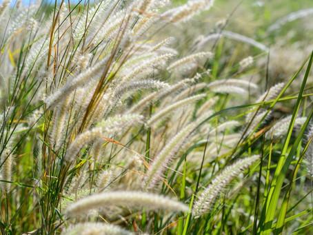 Allergies : en mai, place aux pollens de graminées