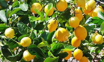 34374333-citrons-mûres-sur-l-arbre.jpg