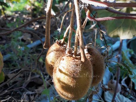 Le Kiwi : carte d'identité, récolte, bienfaits et gourmandise...