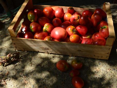 La tomate, fruit star de l'été