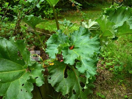La rhubarbe : jolie plante des jardins au printemps