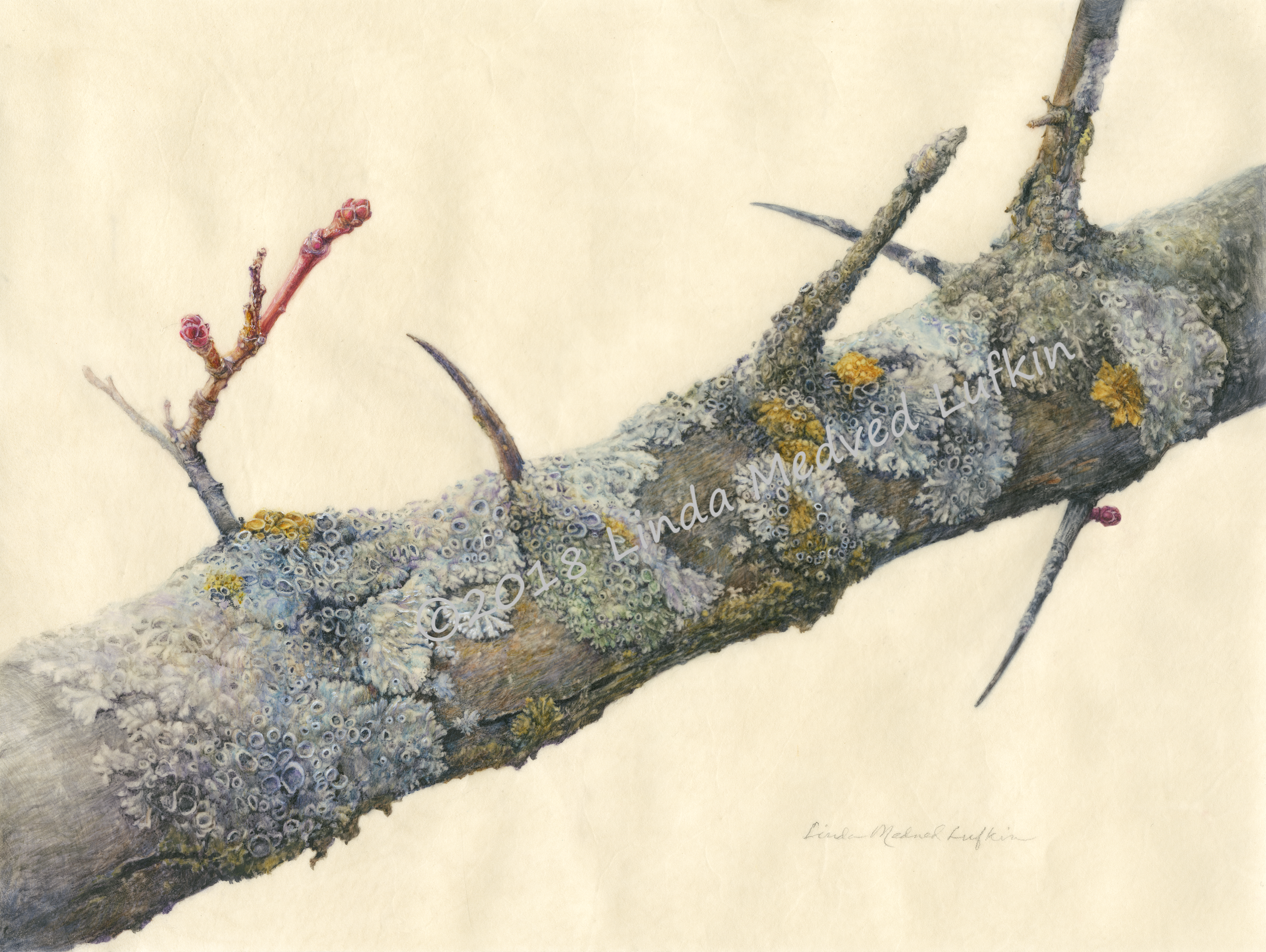 Hawthorn Branch with Lichen