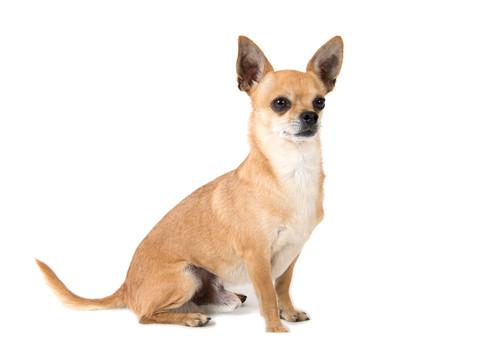 Chiauau Hund