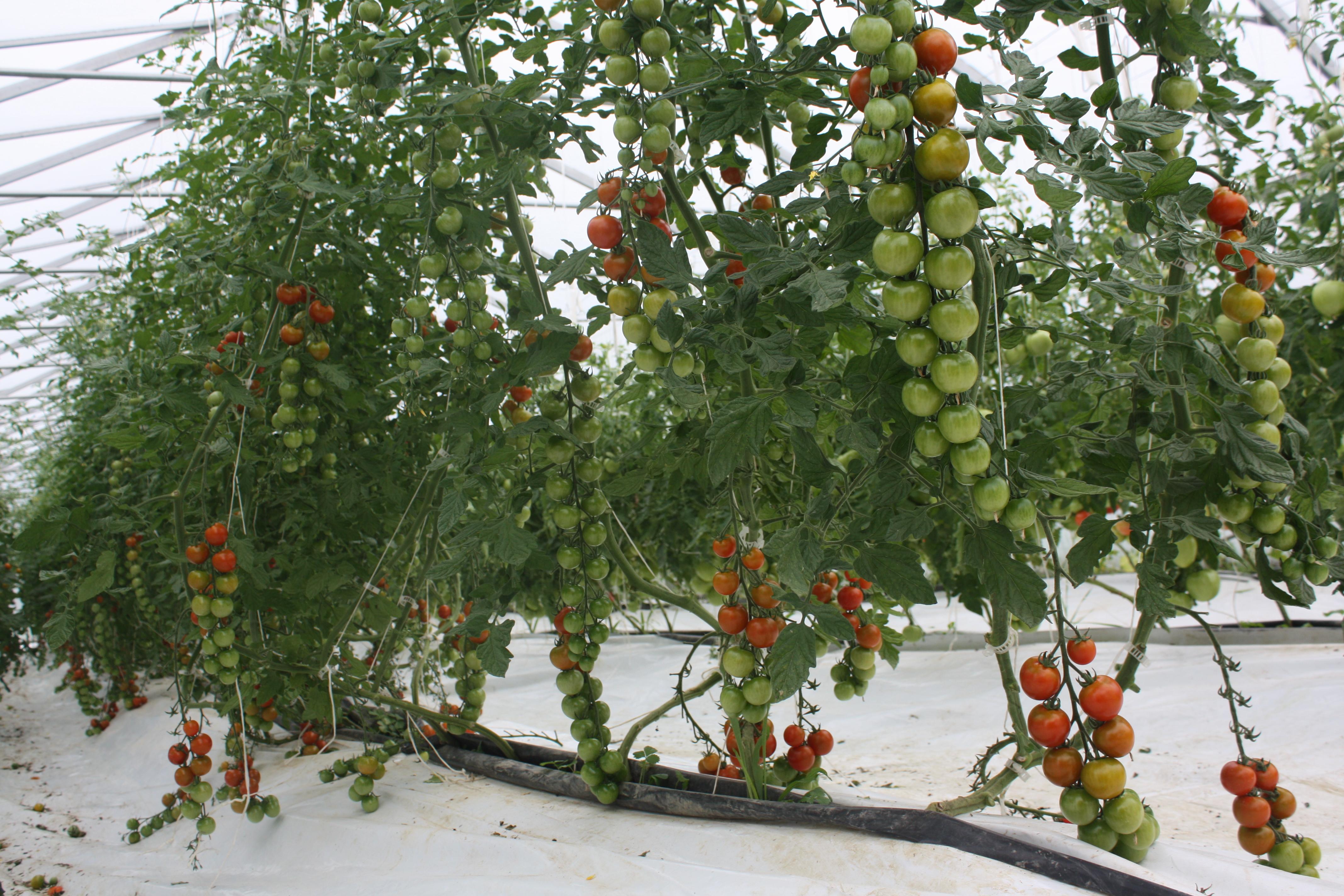 Les tomates cerises