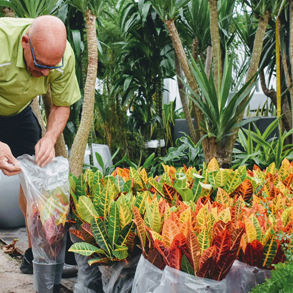 Greenhouse life. Beautiful colored crotons in time for autumn.