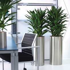 Dracaena 'Janet Craig' in Stainless Steel Planters