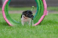 jack-russel-puppy-750608_960_720.jpg