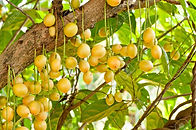 13590267-burmese-grape-or-rambai-thai-na