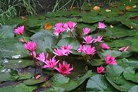 water lilies red.jpg