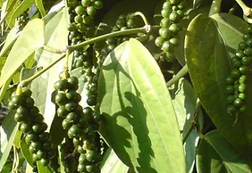peppercorns.png