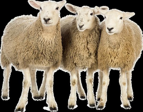 sheep-png-23157.png