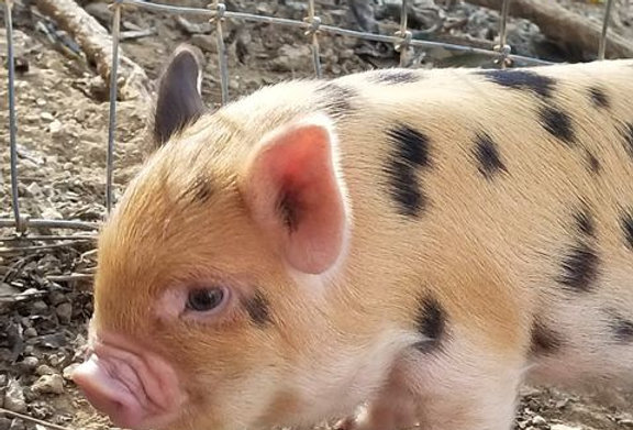 Right Ear Spotted, Right Cheek Spotted Ginger Female Piglet