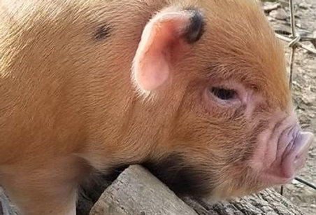 Right Ear Spotted, Right Jaw Spotted Ginger Male Piglet