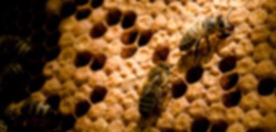 pszczoły na plastrze czerwiu